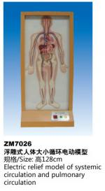 浮雕式人体大小循环电动模型